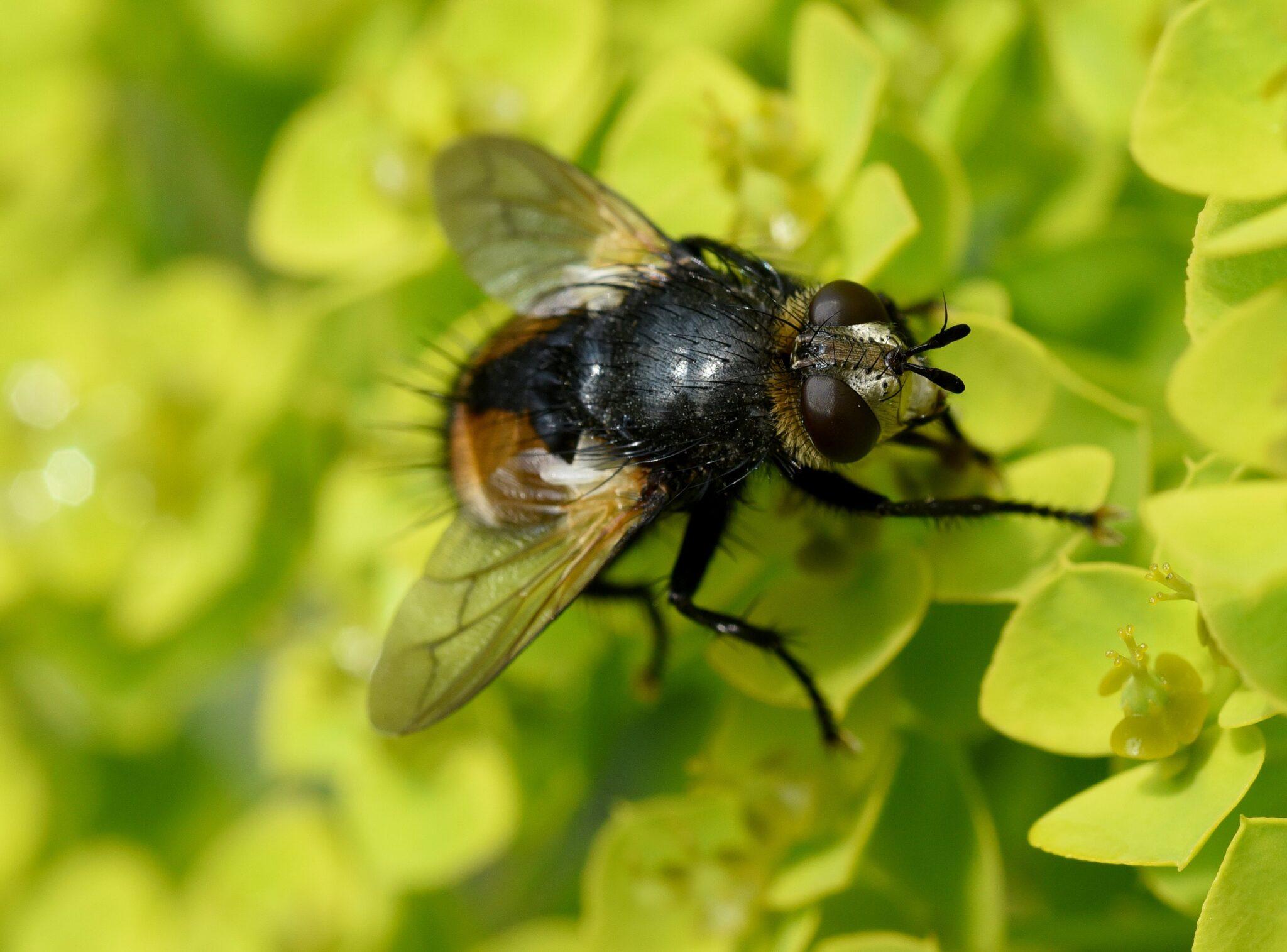 Skadedyrsbekæmpelse fluer